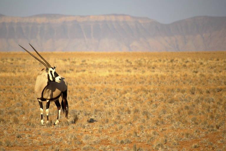 Antilope in de Kalahari-woestijn