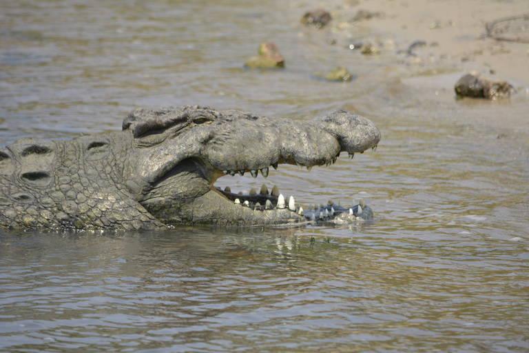 Krokodil in Chobe National Park