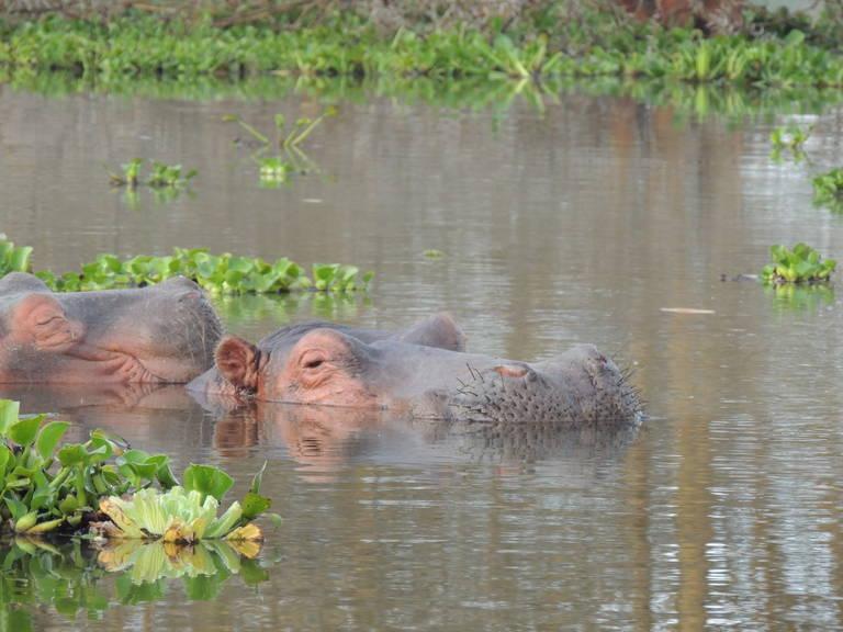 Nijlpaarden in Lake Nakuru