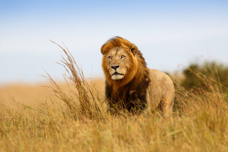 Leeuw in Serengeti National Park