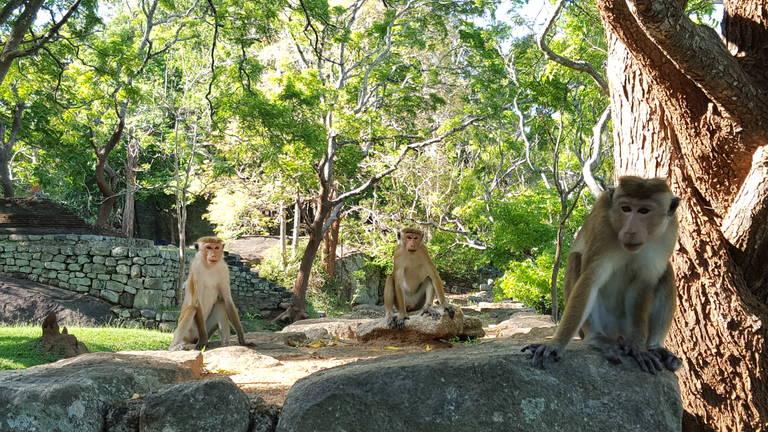 Aapjes bij Sigiriya