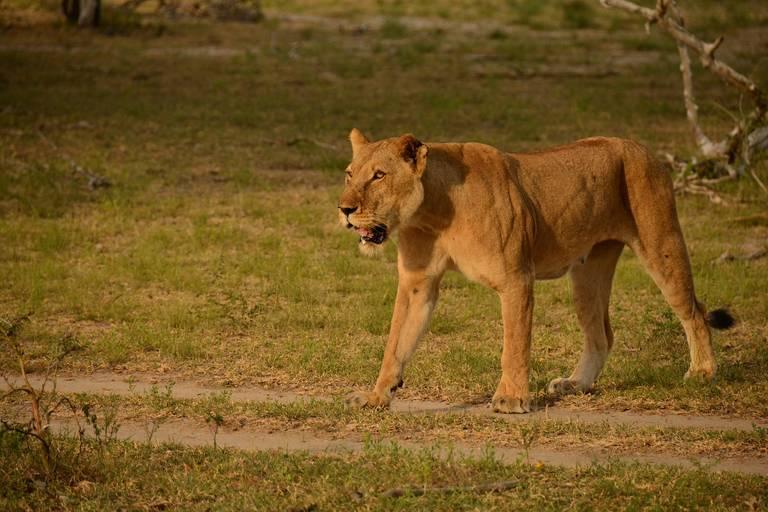 Leeuw in Selous Game Reserve