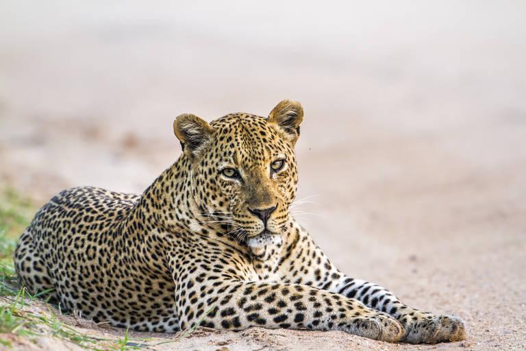 Luipaard in Yala National Park