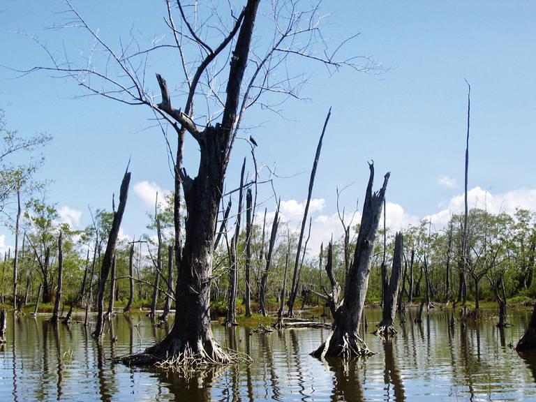 Bomen in het water bij Nieuw Nickerie