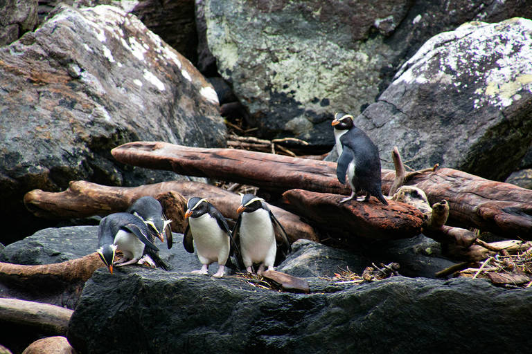 Pinguins, Milford Sound