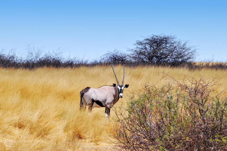 Oryx in Etosha National Park