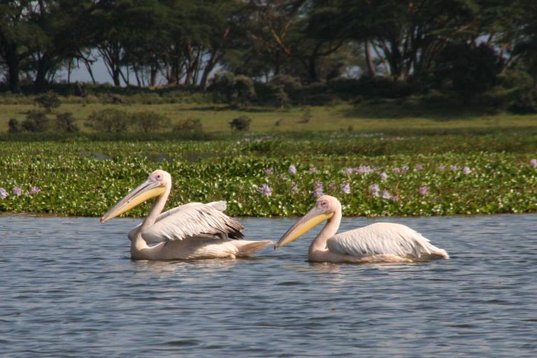 Pelikanen in Lake Nakuru