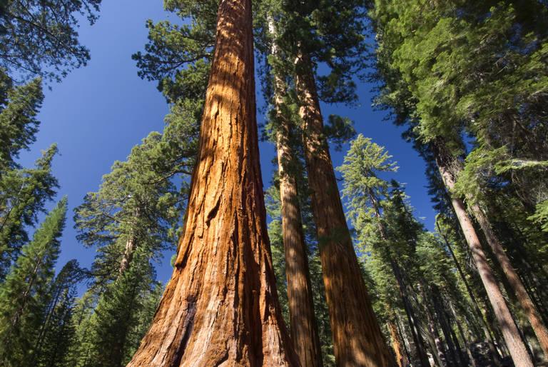 Sequoia boom in Yosemite National Park