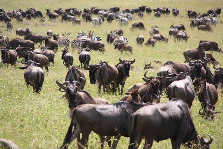 Gnoes en zebra's in Serengeti National Park
