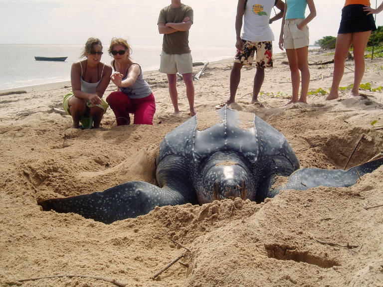 Schildpad legt eieren nabij Commewijne