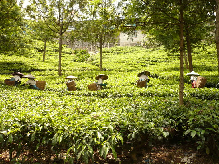Theeplantage op Java