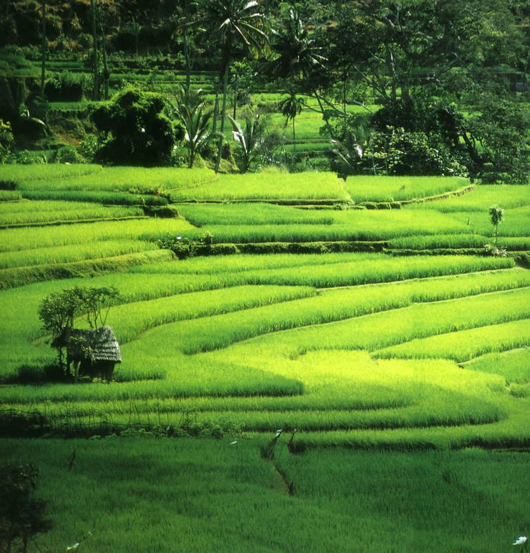 Rijstvelden Ubud, Bali