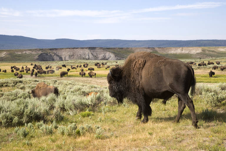 Bizon in Yellowstone