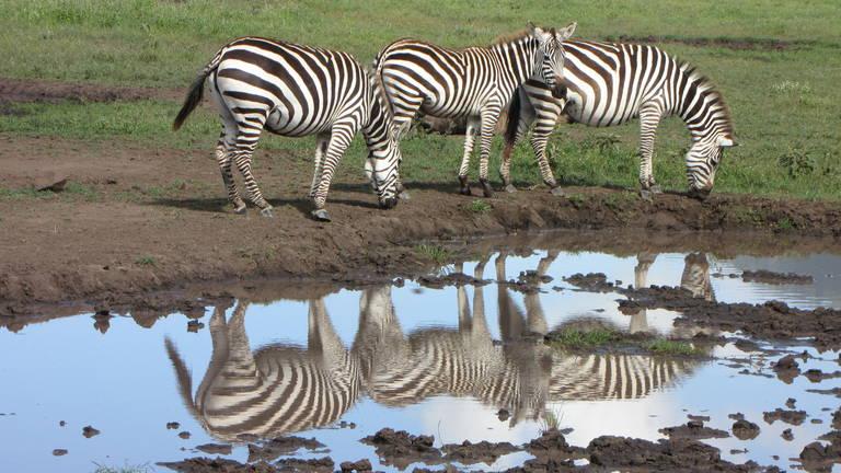 Zebra's in Ngorongoro Conservation Area