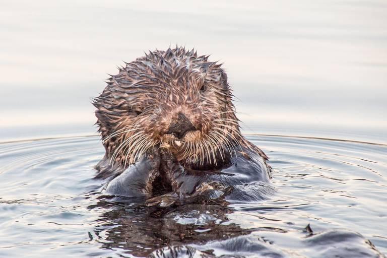 Otter in Alaska