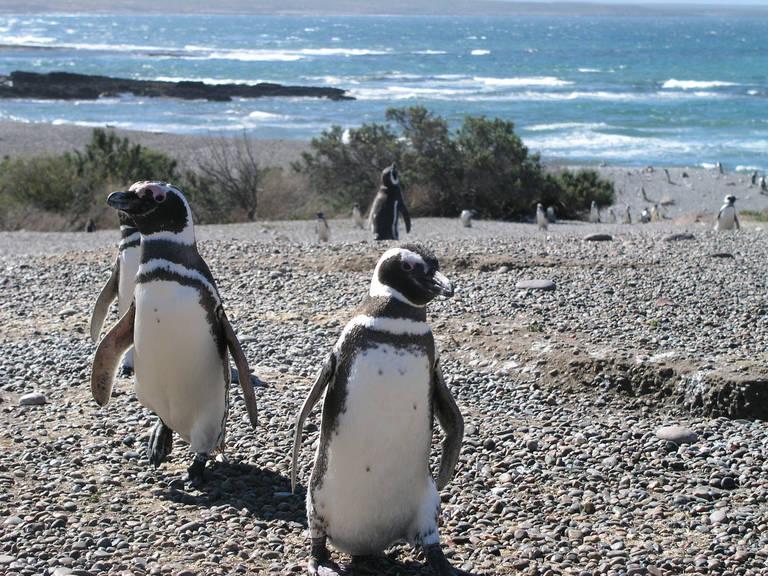 Pinguins bij Punta Tombo