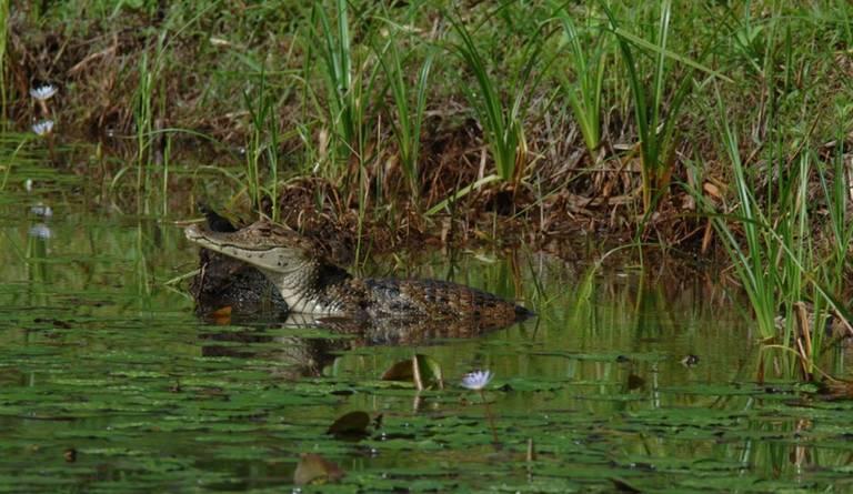 Krokodil in Caño Negro