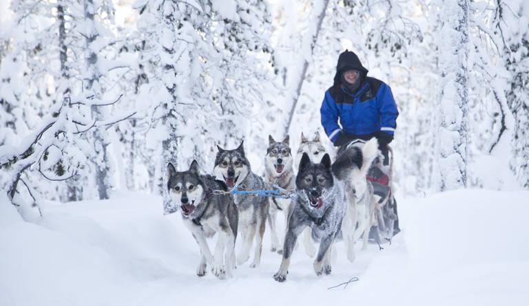 Husky safari, Fins Lapland
