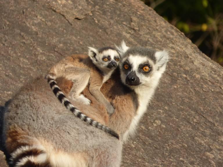 Ringstaartmaki moeder met baby