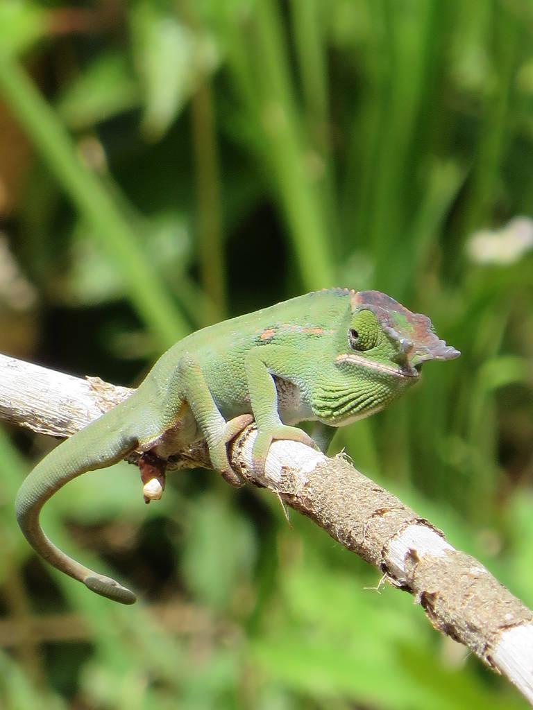 Kameleon in Peyreras Reptile Park