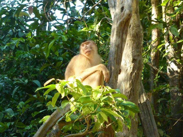 Aapje in Sukau, Borneo