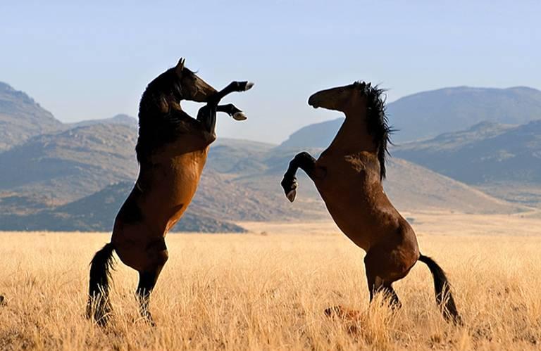 Wilde paarden in Aus