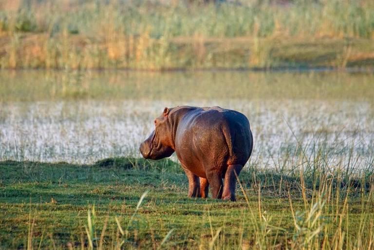 Nijlpaard in de Caprivistrook