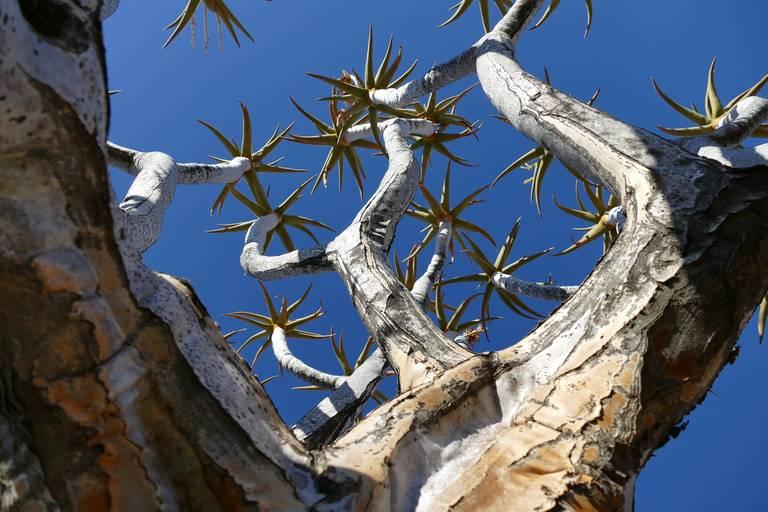 Kokerboom in Keetmanshoop