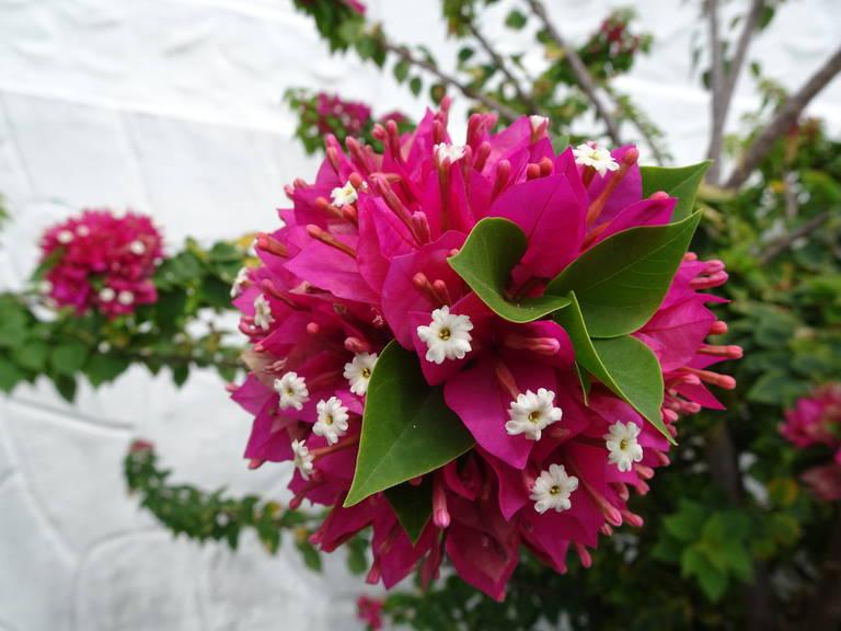 Bloemenpracht in Panama