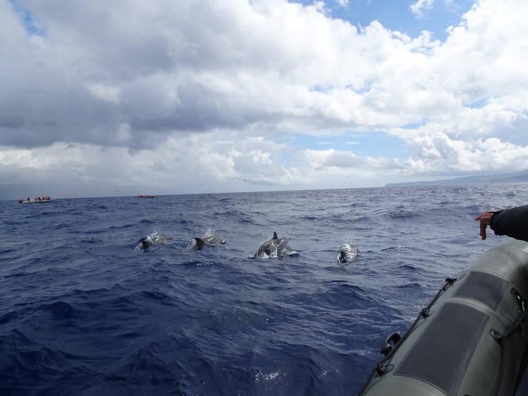 Wilde dolfijnen bij Faial