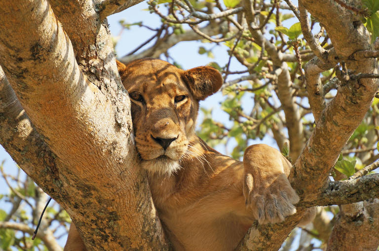 Leeuw in Queen Elizabeth National Park