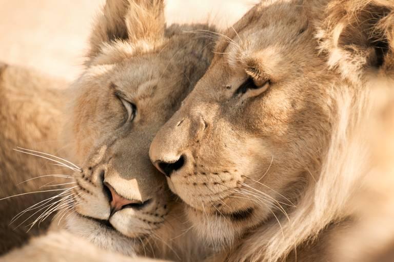 Leeuwen in Zuid-Afrika