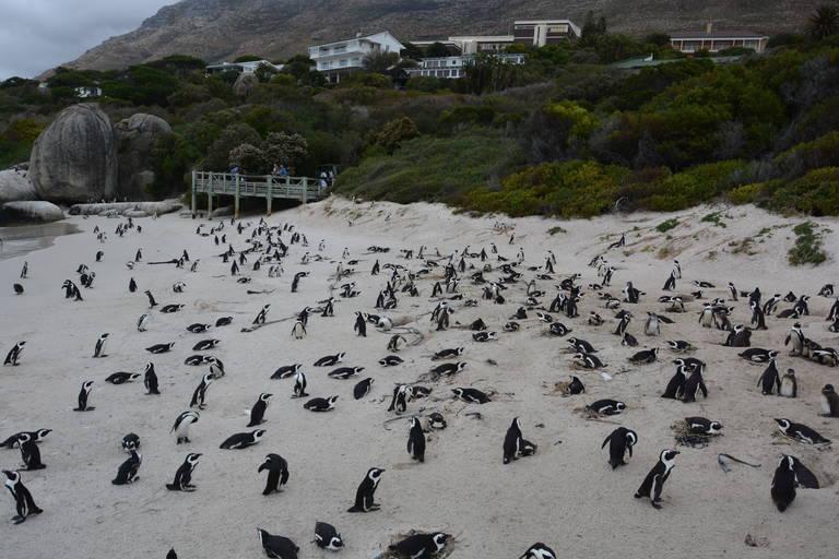 Pinguins in Kaapstad