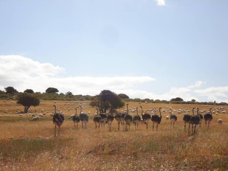 Struisvogels in Oudtshoorn
