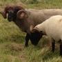 Ram and ewe