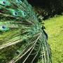 Peacock rising 1