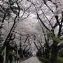 Aoyama cemetery blossom