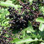 Elderberries2007 08 12