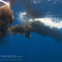 Sperm whale defecation 201104 0719