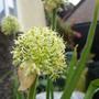 Allium hookerii