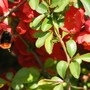 Chaenomeles with bee