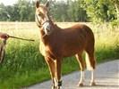 Zeer Mooie Luxe 8 Jarige C Pony (For Sale)