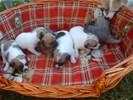 Zoete chihuahua puppy is nog op zoek naar een mooi huis
