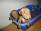 Pitbull terrier rednose pups te koop