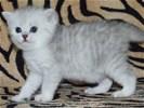 Perzische kittens