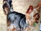 Hond yorkshire terrier