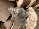 Te koop nog enkele Noorse Boskat kittens