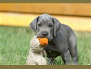 Blauwe en zwarte Duiste Dog pups