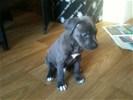 Pitbull pupy van 8 weekjes oud ( blue nose)