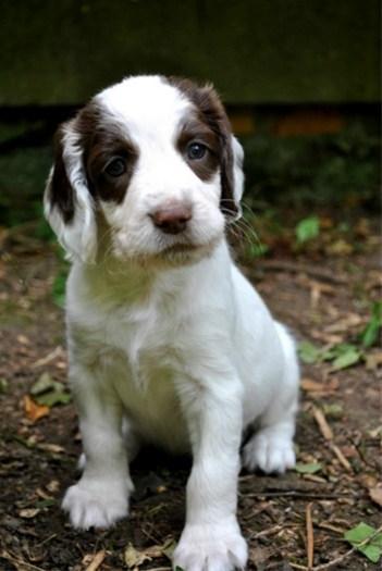mooie engelse springer spaniel puppy's